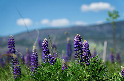 Photograph - Spring Lupines by Dave Matchett