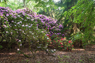 Photograph - Spring Marvels. Lush Rhododendron Blooms 1 by Jenny Rainbow
