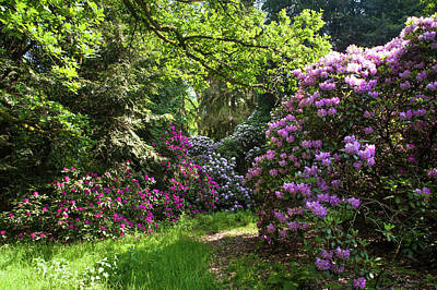 Photograph - Spring Marvels. Lush Rhododendrons Bloom by Jenny Rainbow