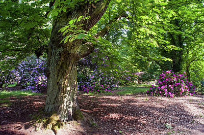 Photograph - Spring Marvels. Old Chestnut by Jenny Rainbow