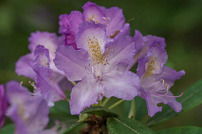 Photograph - Spring Marvels. Rhododendron Goldflimmer by Jenny Rainbow