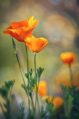 Photograph - Spring Poppies In Bloom  by Saija Lehtonen