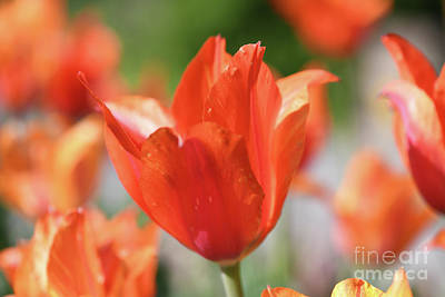 Photograph - Spring Portrait - Orange Tulips by Kerri Farley