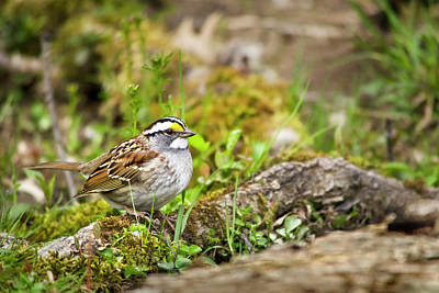 Photograph - Spring Sparrow by Christina Rollo