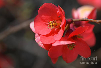 Photograph - Spring Time Flowering Quince by Joy Watson