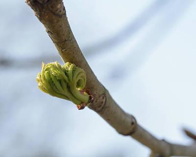 Photograph - Spring Tree Buds Opening B by Jacek Wojnarowski