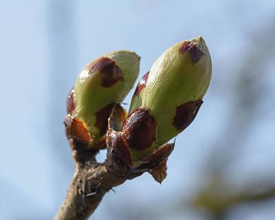 Photograph - Spring Tree Buds Opening C by Jacek Wojnarowski