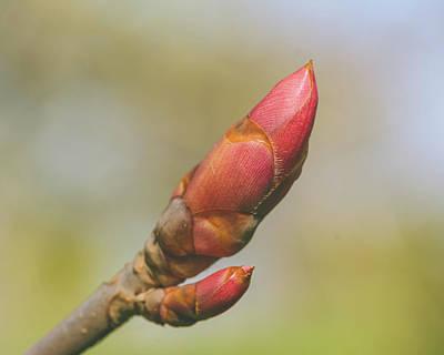 Photograph - Spring Tree Buds Opening J by Jacek Wojnarowski