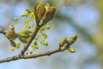Photograph - Spring Tree Buds Opening K by Jacek Wojnarowski