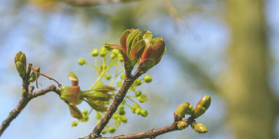 Photograph - Spring Tree Buds Opening L by Jacek Wojnarowski