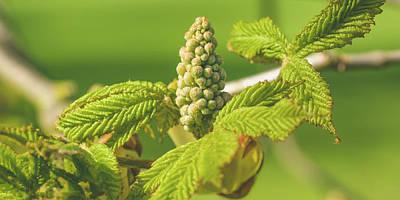 Photograph - Spring Tree Buds Opening Z by Jacek Wojnarowski