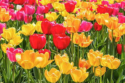 Photograph - Spring Tulip Field #10 - Garden by Patti Deters