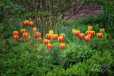 Photograph - Spring Tulips by Karen Adams