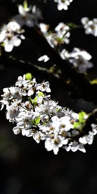 Photograph - Spring White Blossoms P by Jerry Sodorff