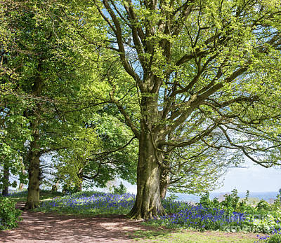 Photograph - Springtime Beech And Bluebells by Tim Gainey