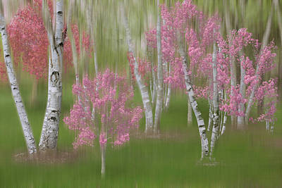 Photograph - Springtime Birch Forest Dreamscape by Debra and Dave Vanderlaan