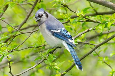 Photograph - Springtime Bluejay by Kristin Hatt