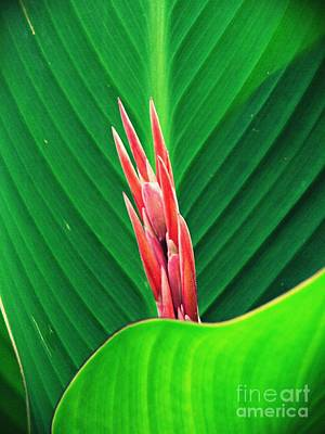 Royalty-Free and Rights-Managed Images - Sprouting Canna Lily   by Sarah Loft