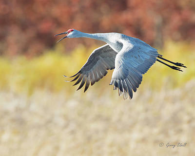 Photograph - Squawking All The Way by Gerry Sibell