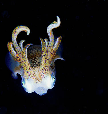 Photograph - Squid At Night by Nature, Underwater And Art Photos. Www.narchuk.com