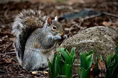 Photograph - Squirrel And His Dinner by Jeffrey PERKINS