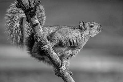 Photograph - Squirrel In Black And White by Cathy Kovarik