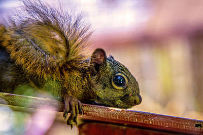 Photograph - Squirrels Watchful Eye by Max Huber