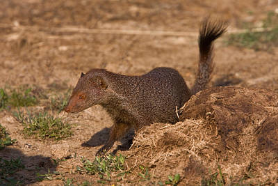 Photograph - Sri Lanka Ruddy Mongoose by David Hosking