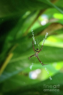 Photograph - St Andrew's Cross Spider by Michelle Meenawong