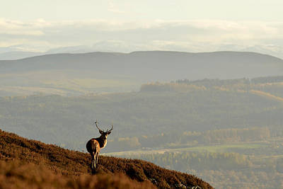 Photograph - Stag Above Strathglass by Gavin MacRae