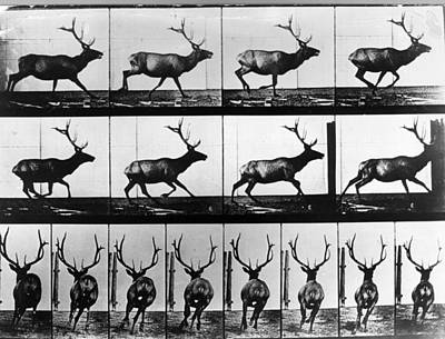 Photograph - Stag by Eadweard Muybridge