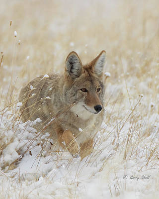Photograph - Stalking by Gerry Sibell
