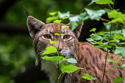Photograph - Stalking Lynx by Arterra Picture Library