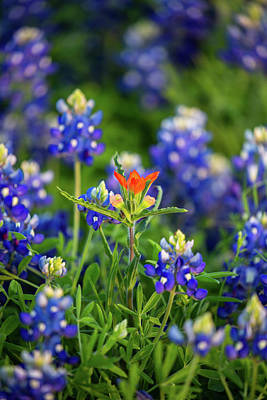 Traditional Bells - Stand Out - Indian Paintbrush in Field of Texas Bluebonnets by Southern Plains Photography