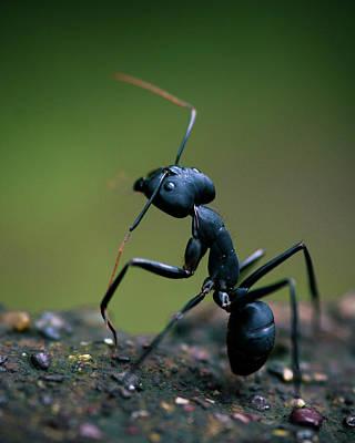 Ant Photograph - Standing Tall by Abhinav Sah