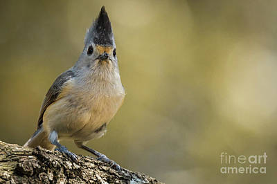 Photograph - Staring Titmouse by David Cutts
