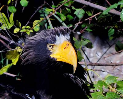 Photograph - Stellar's Sea Eagle by Lukas Miller
