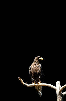 Branch Photograph - Stellers Sea Eagle On Branch by Tommi Pohjalainen