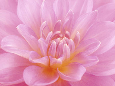Photograph - Still Life Photograph, Close-up Of Pink by Abdul Kadir  Audah