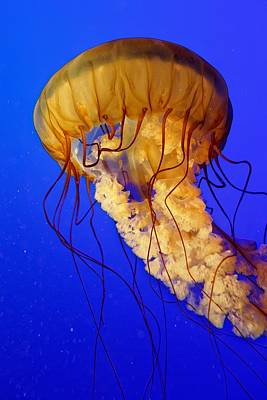 Photograph - Stinging Beauty - Sea Nettle by KJ Swan