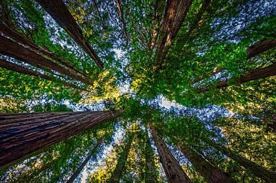 Photograph - Stout Grove Redwood Trees Canopy  by Stuart Litoff