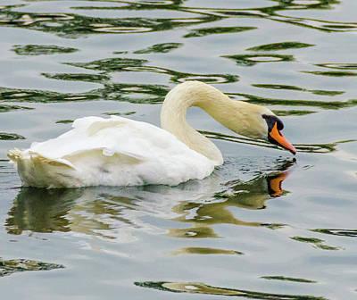 Photograph - Strasbourg Swan by Paul Croll