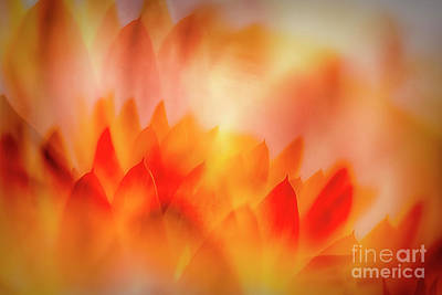 Abstract Flowers Royalty-Free and Rights-Managed Images - Strawflowers 3 by Veikko Suikkanen