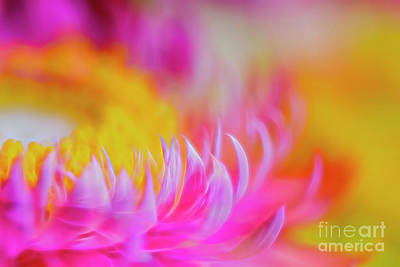 Abstract Flowers Royalty-Free and Rights-Managed Images - Strawflowers 5 by Veikko Suikkanen