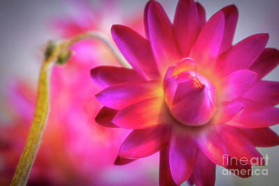 Royalty-Free and Rights-Managed Images - Strawflowers 7 by Veikko Suikkanen