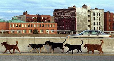 Walking Photograph - Stray Dogs Stroll Along The Bruckner by New York Daily News Archive