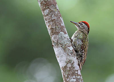 Karnataka Photograph - Streak Throat Woodpecker by ©anaytarnekar