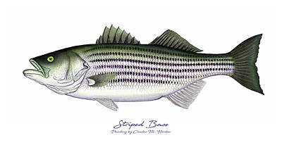 Painting - Striped Bass by Charles Harden