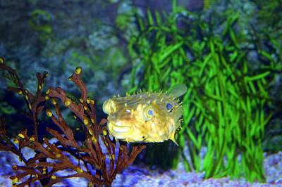 Photograph - Striped Burrfish by Cynthia Guinn