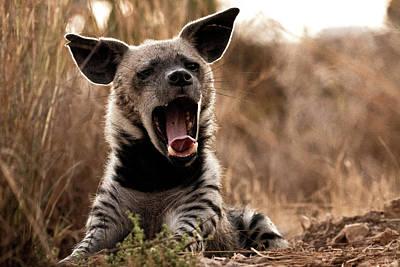 Photograph - Striped Hyena yawning  by Ariel Fields